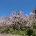神代植物公園【八重紅枝垂桜】1-1