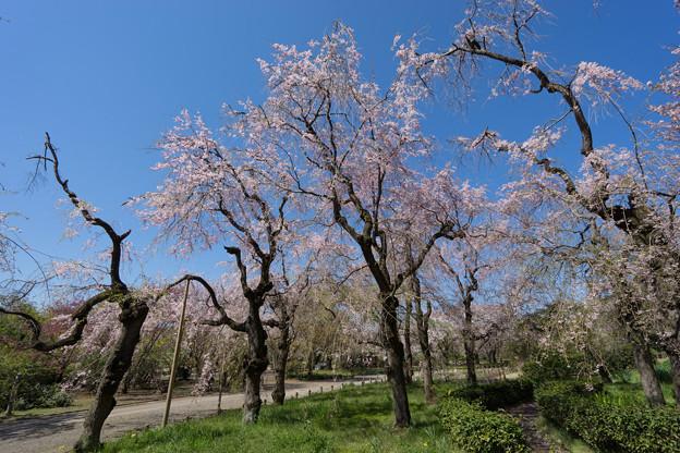 神代植物公園【八重紅枝垂桜】1-2