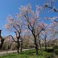 Photos: 神代植物公園【八重紅枝垂桜】1-2