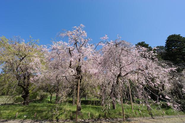 神代植物公園【八重紅枝垂桜】1-3