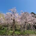 Photos: 神代植物公園【八重紅枝垂桜】1-3