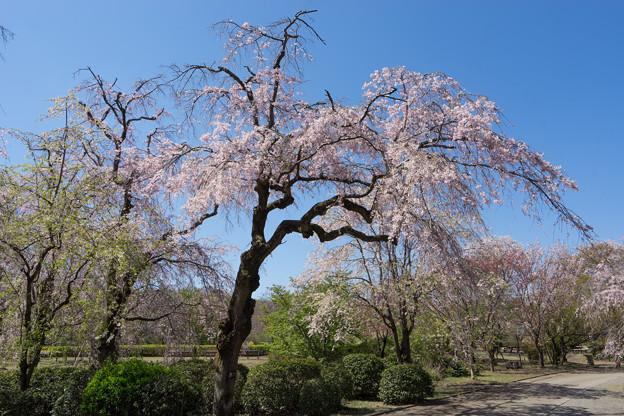 神代植物公園【八重紅枝垂桜】2-2