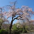 Photos: 神代植物公園【八重紅枝垂桜】2-2