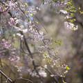 神代植物公園【八重紅枝垂桜】2-4