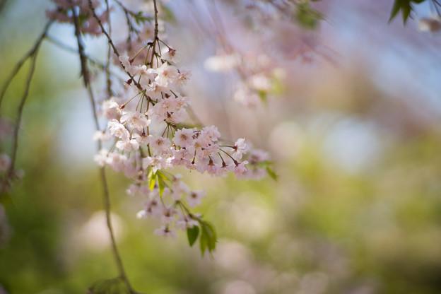 神代植物公園【八重紅枝垂桜】2-5