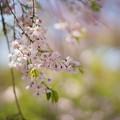 Photos: 神代植物公園【八重紅枝垂桜】2-5