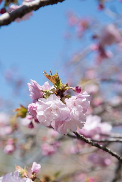 神代植物公園【サクラ:江戸】1