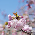 Photos: 神代植物公園【サクラ:江戸】1