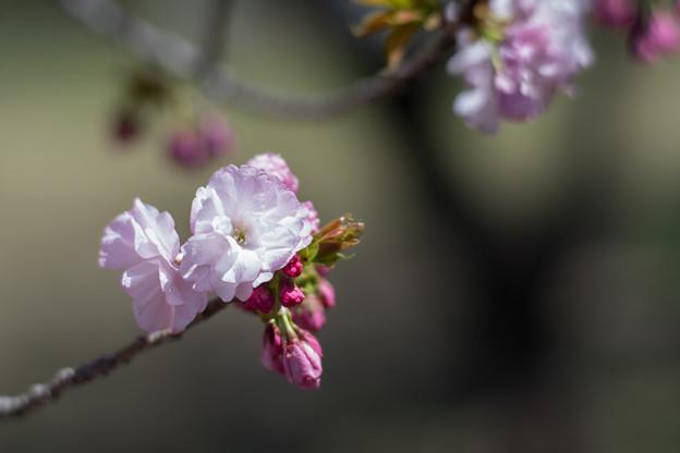 Photos: 神代植物公園【サクラ:江戸】2