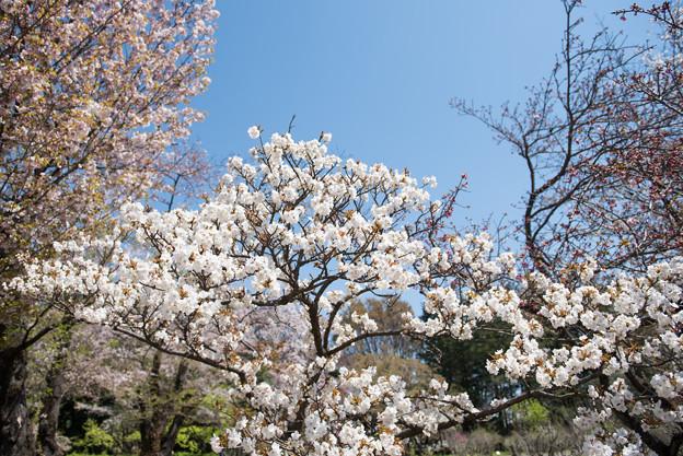 神代植物公園【サクラ:御室有明】1