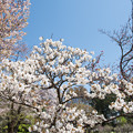 Photos: 神代植物公園【サクラ:御室有明】1