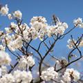 Photos: 神代植物公園【サクラ:御室有明】2