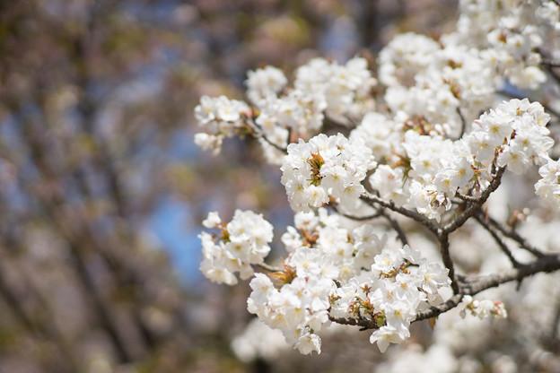 神代植物公園【サクラ:御室有明】3