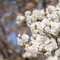 Photos: 神代植物公園【サクラ:御室有明】3