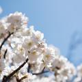 神代植物公園【サクラ:御室有明】4