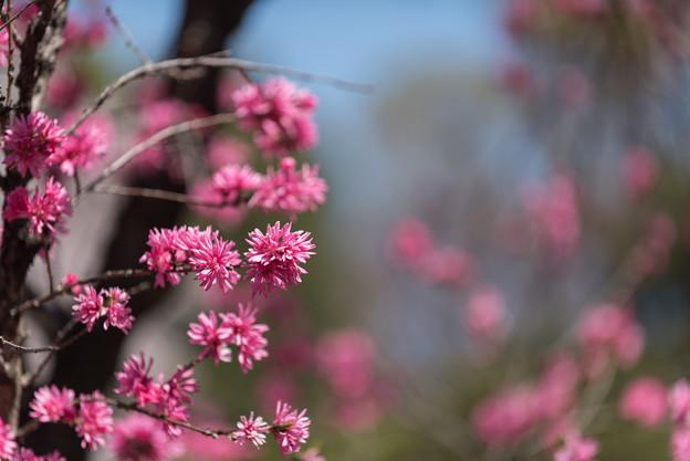 神代植物公園【ハナモモ:菊桃】4