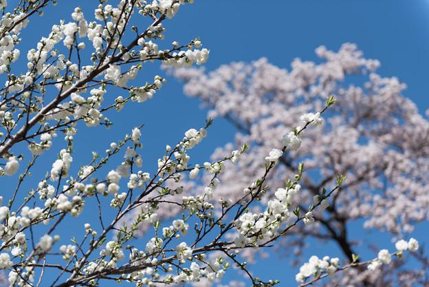 神代植物公園【ハナモモ:源平】3