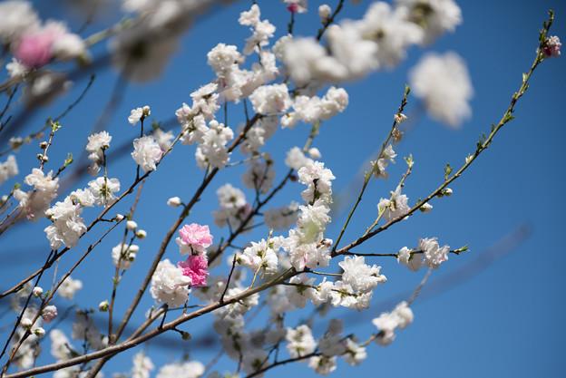 神代植物公園【ハナモモ:源平】4