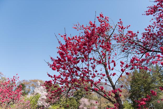 神代植物公園【ハナモモ:黒皮】1