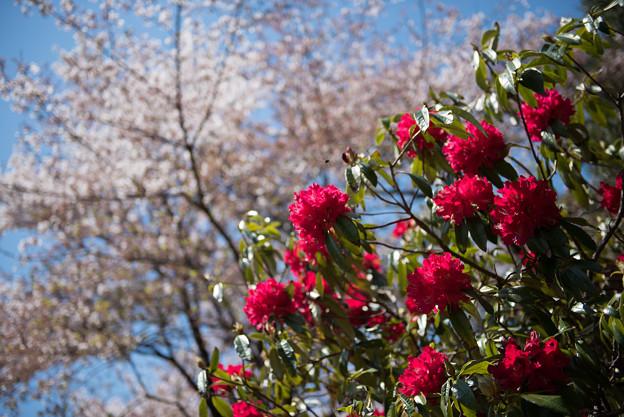 神代植物公園【シャクナゲ:ネリアーブ】