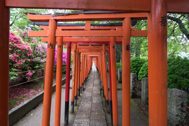 根津神社【ツツジと千本鳥居】2