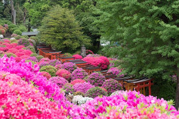 根津神社【ツツジと千本鳥居】4