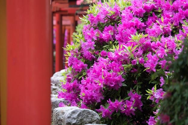 根津神社【ツツジと千本鳥居】6