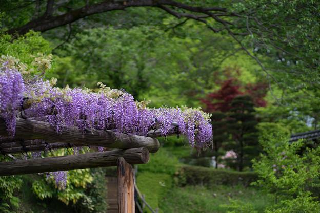 町田ぼたん園【ぼたん園に咲く藤の花】