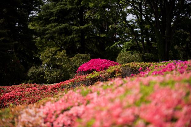 神代植物公園【つづじ園】06