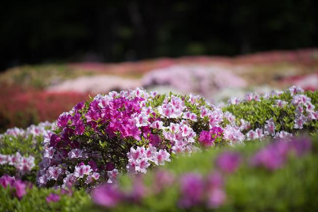 神代植物公園【つづじ園】08