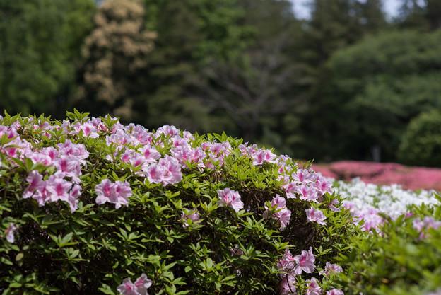 神代植物公園【つづじ園】10