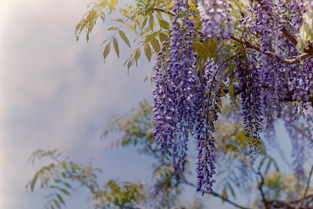 神代植物公園【藤の花】03銀塩