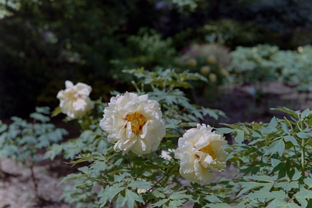神代植物公園【牡丹:黄冠】銀塩