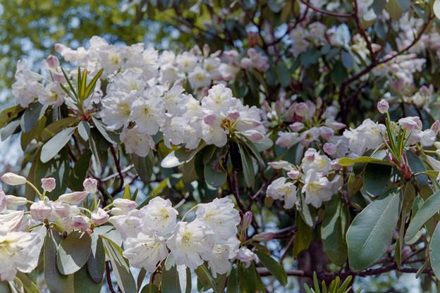 神代植物公園【石楠花:デコルマ】銀塩
