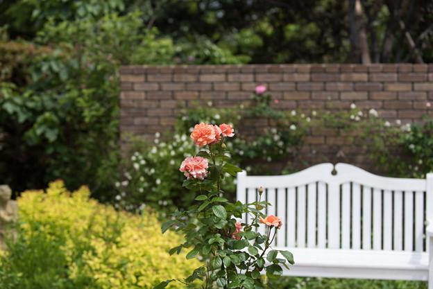 花菜ガーデン【春バラ:花菜ローズ】1