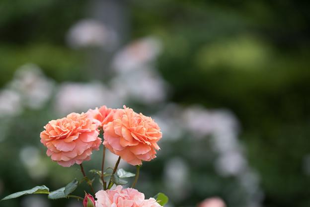 花菜ガーデン【春バラ:花菜ローズ】2