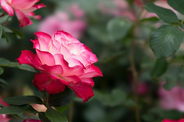 花菜ガーデン【春バラ:ジュビレ・デュ・プリンス・ドゥ・モナコ】3