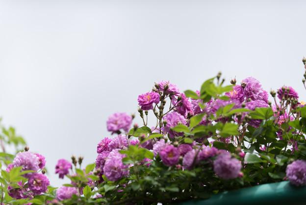 花菜ガーデン【春バラ:ブルー・ランブラー】1