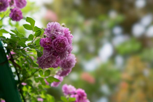 花菜ガーデン【春バラ:ブルー・ランブラー】4