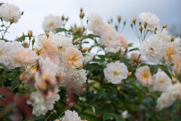 花菜ガーデン【春バラ:トレジャー・トローブ】1