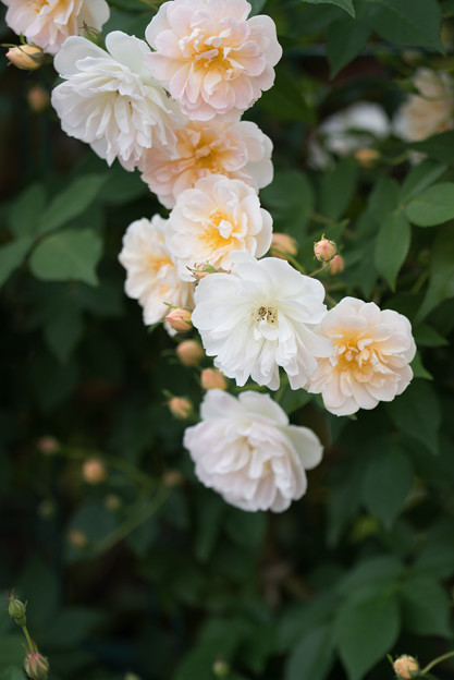 花菜ガーデン【春バラ:トレジャー・トローブ】3