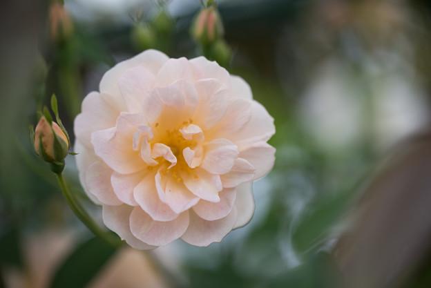 花菜ガーデン【春バラ:トレジャー・トローブ】4