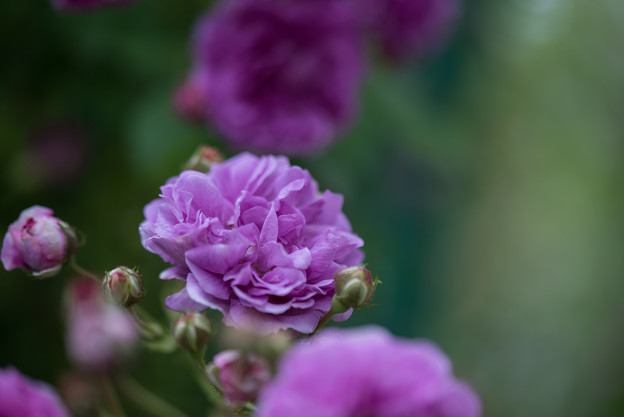 花菜ガーデン【春バラ:ケイコズ・ドリーム】3