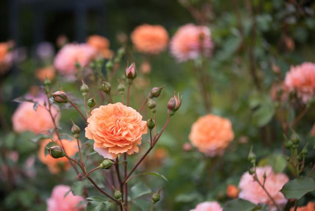 花菜ガーデン【春バラ:ルイーズ・クレメンツ】1