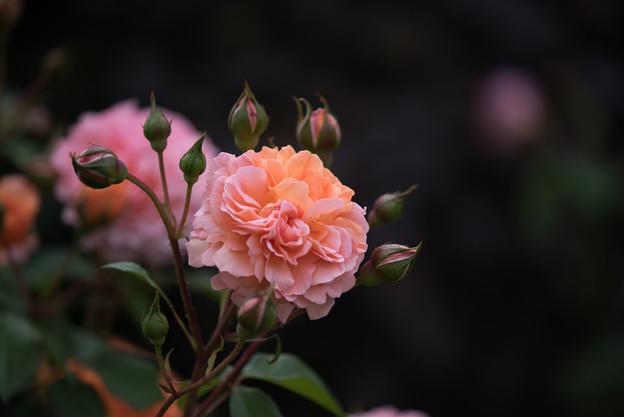 花菜ガーデン【春バラ:ルイーズ・クレメンツ】2