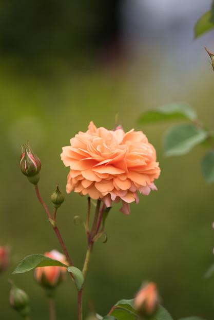 花菜ガーデン【春バラ:ルイーズ・クレメンツ】3