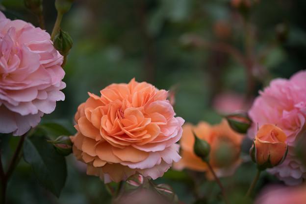 花菜ガーデン【春バラ:ルイーズ・クレメンツ】4
