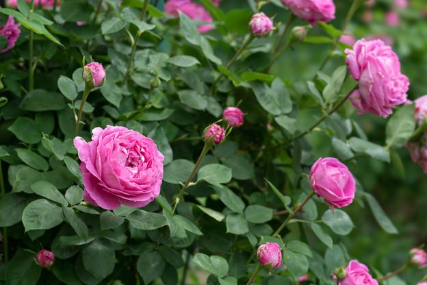 花菜ガーデン【春バラ:ポールネイロン】2