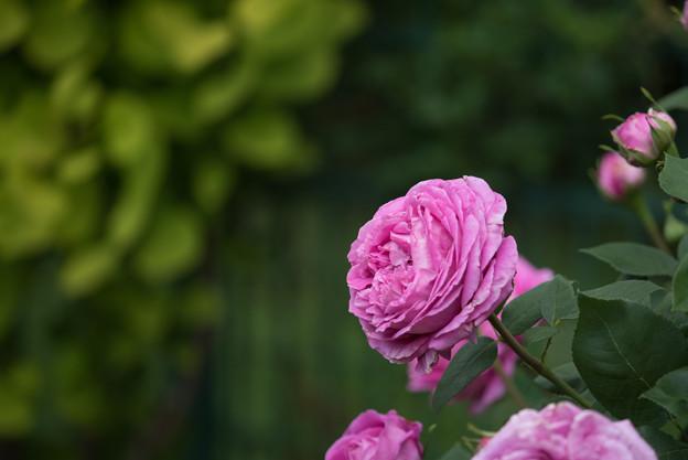 花菜ガーデン【春バラ:ポールネイロン】3