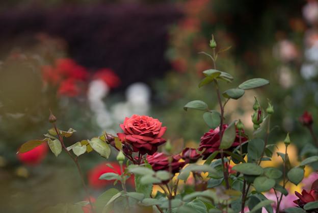 花菜ガーデン【春バラ:チョコレート・プリンス】2